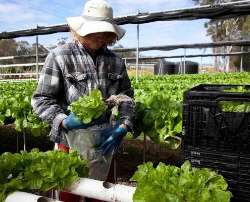 Packing Lettuce